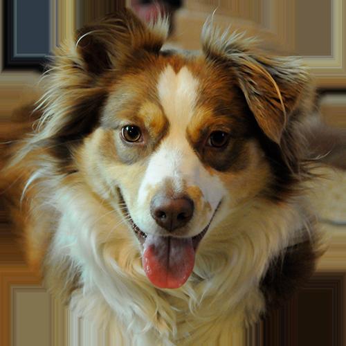 Best border collie working dog trainer and australian aussie shepherd training in Redding, CA, Anderson, Cottonwood, Red Bluff, Palo Cedro, Bella Vista and Shasta Lake City areas.