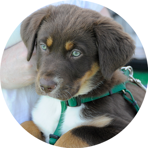 The best private puppy trainer for housetraining, potty training, chewing, biting, jumping up on people, lab, chocolate lab, aussie, in Redding, Anderson, Cottonwood, Red Bluff, Palo Cedro, Bella Vista and Shasta Lake City, CA areas.