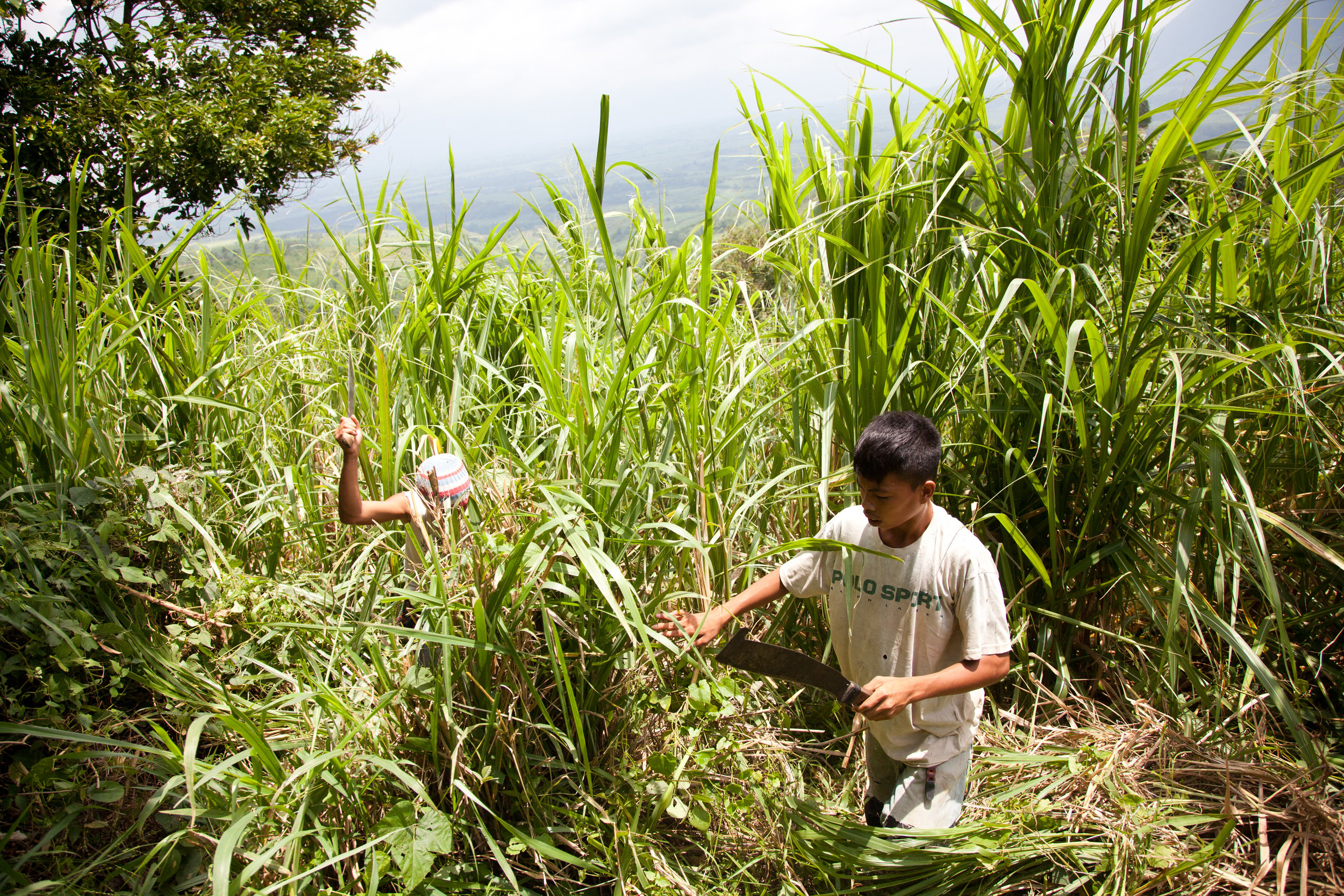 Sugarcane is the biggest industry in Negros Occidental and the main employer of child laborers.