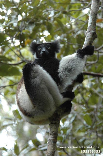 Indri 2.jpg