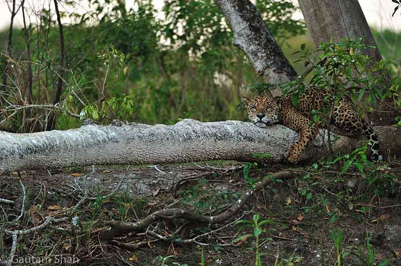 jaguar_tree.jpg