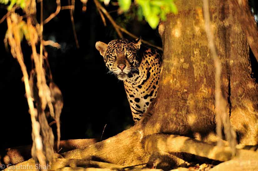 morning_jaguar1.jpg