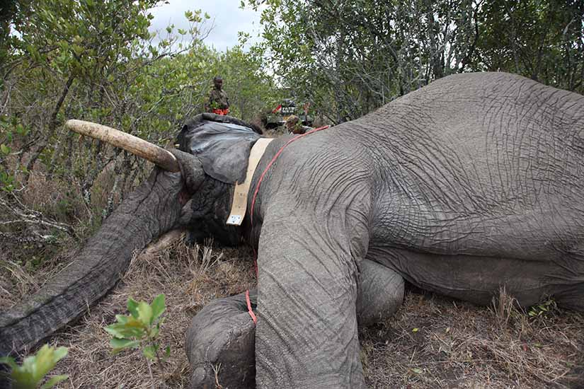 Mweturia is tranquillised by experts in order to attach the GPS collar that enables Space for Giants to research his behaviour and design solutions to the human wildlife conflict.
