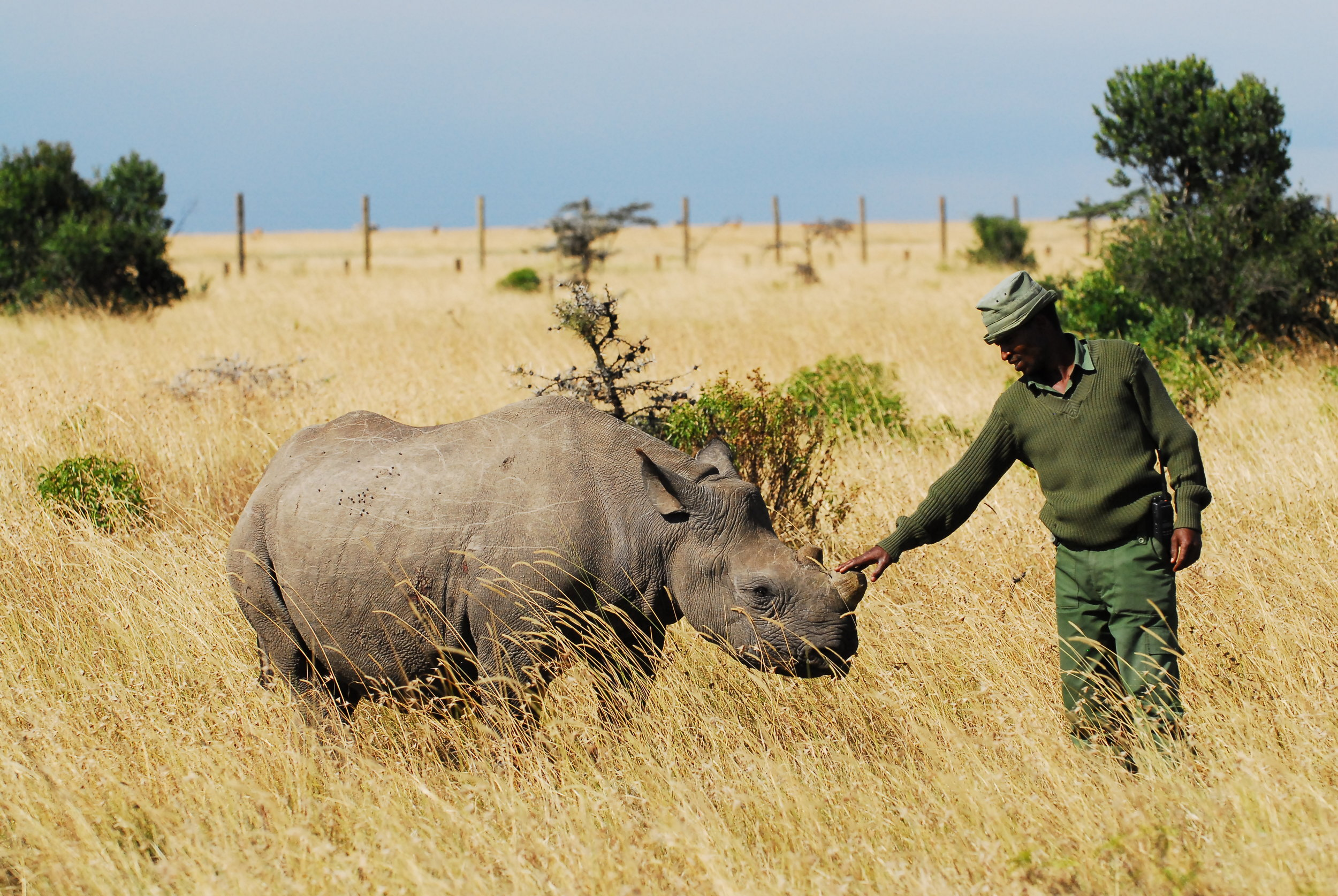Lola shortly after her relocation to Ol Pejeta.JPG