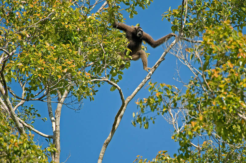 A gibbon in Borneo. Photo by Gautam Shah