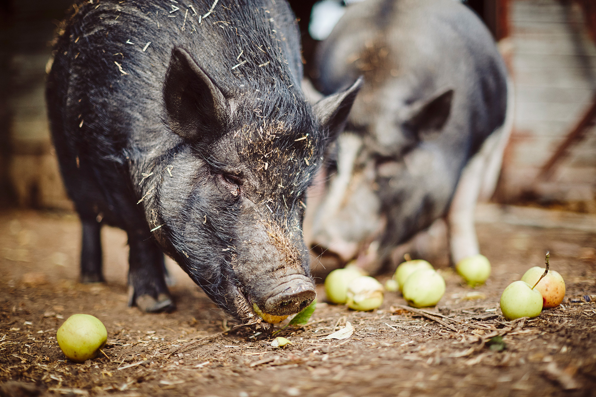 saxbys-pigs-6.jpg