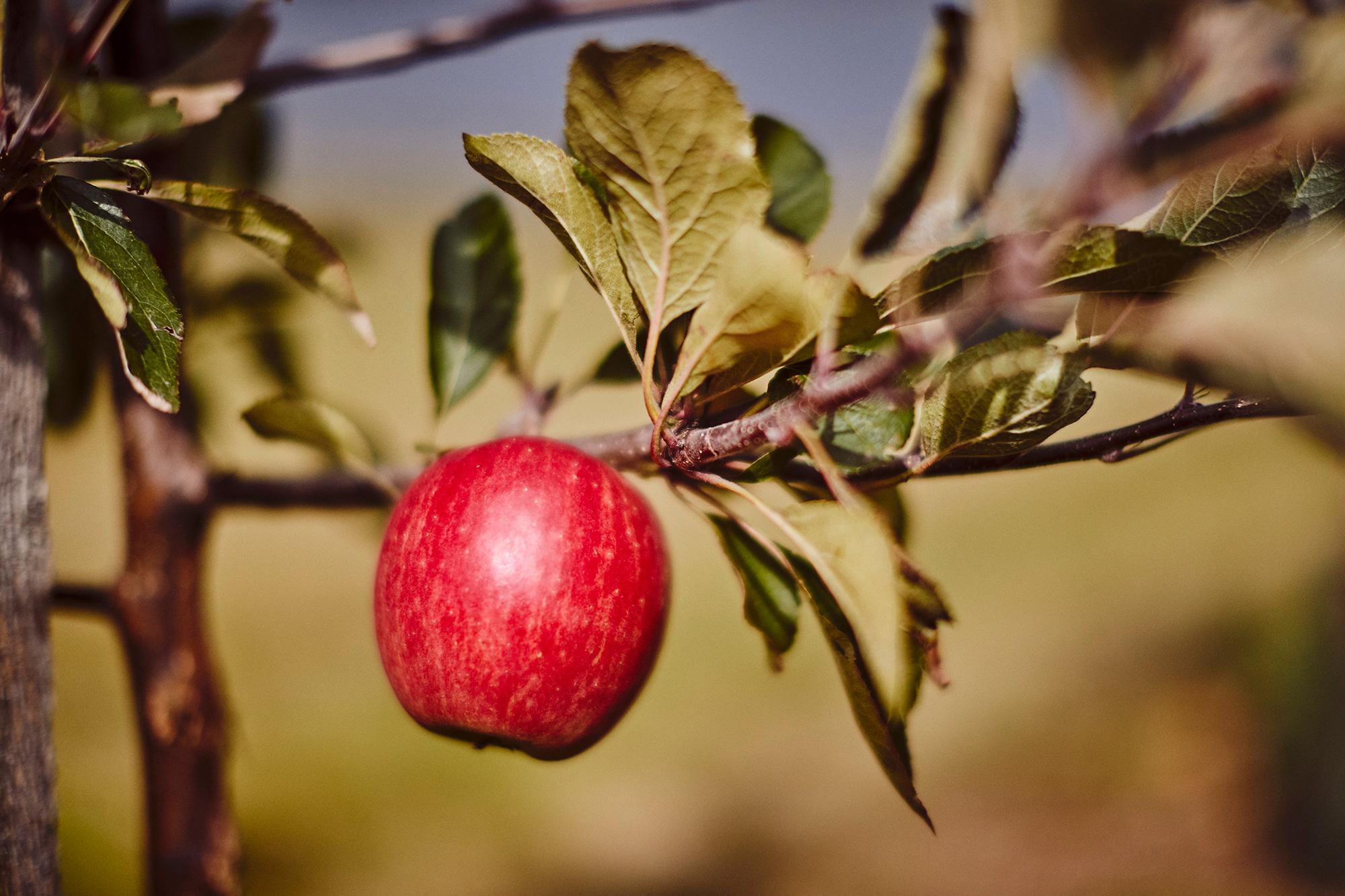 saxbys-cider-apples-1.jpg