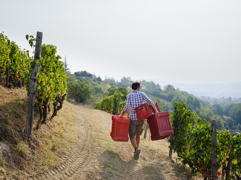 Die Ernte erfolgt so früh am Morgen wie möglich, um die Mittags- und Nachmittagshitze zu vermeiden. Auf dem Rückweg am Mittag mit überzähligen Kisten.