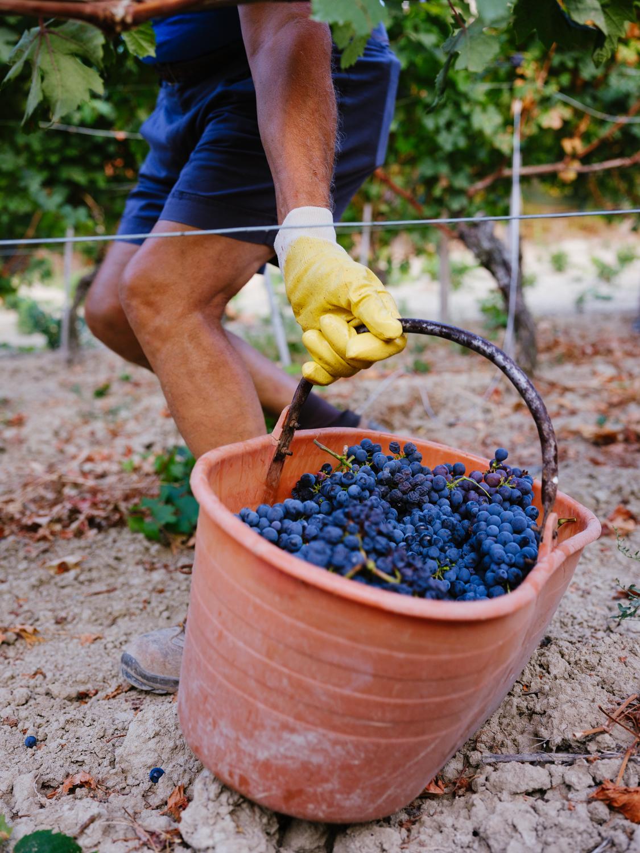 Frisch gelesene Trauben werden in Eimern gesammelt und von dort aus in grosse Sammelbehälter gebracht, die dann per Traktor zum Weinkeller gelangen.