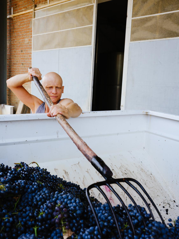 Frische gelesene Trauben werden im Anhänger per Traktor zum Weingut gebracht. Dort werden sie entladen und weiter verarbeitet.