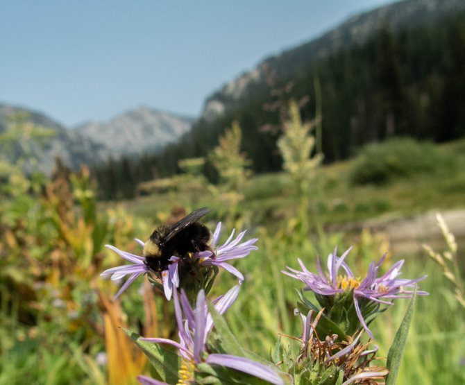 5- Western bumblebee in Idaho_Rich Hatfield.jpg