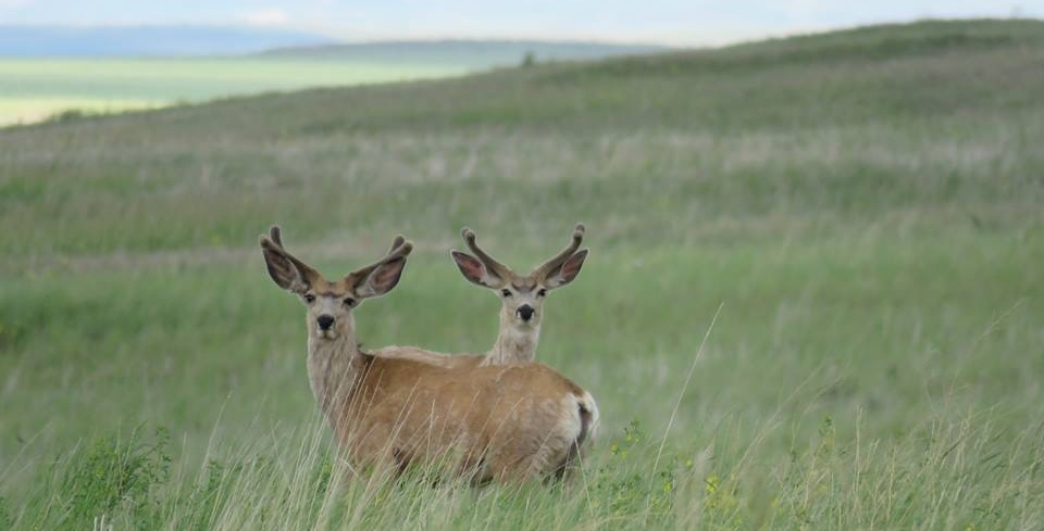 Mule deer near my hometown in Wyoming.  Photo by Robert Galbreath.