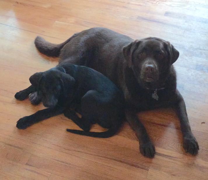 My two beautiful Labrador Retriever's Chauncey and Maudie.