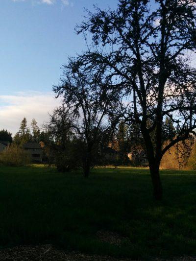 Three Pear Trees at Night