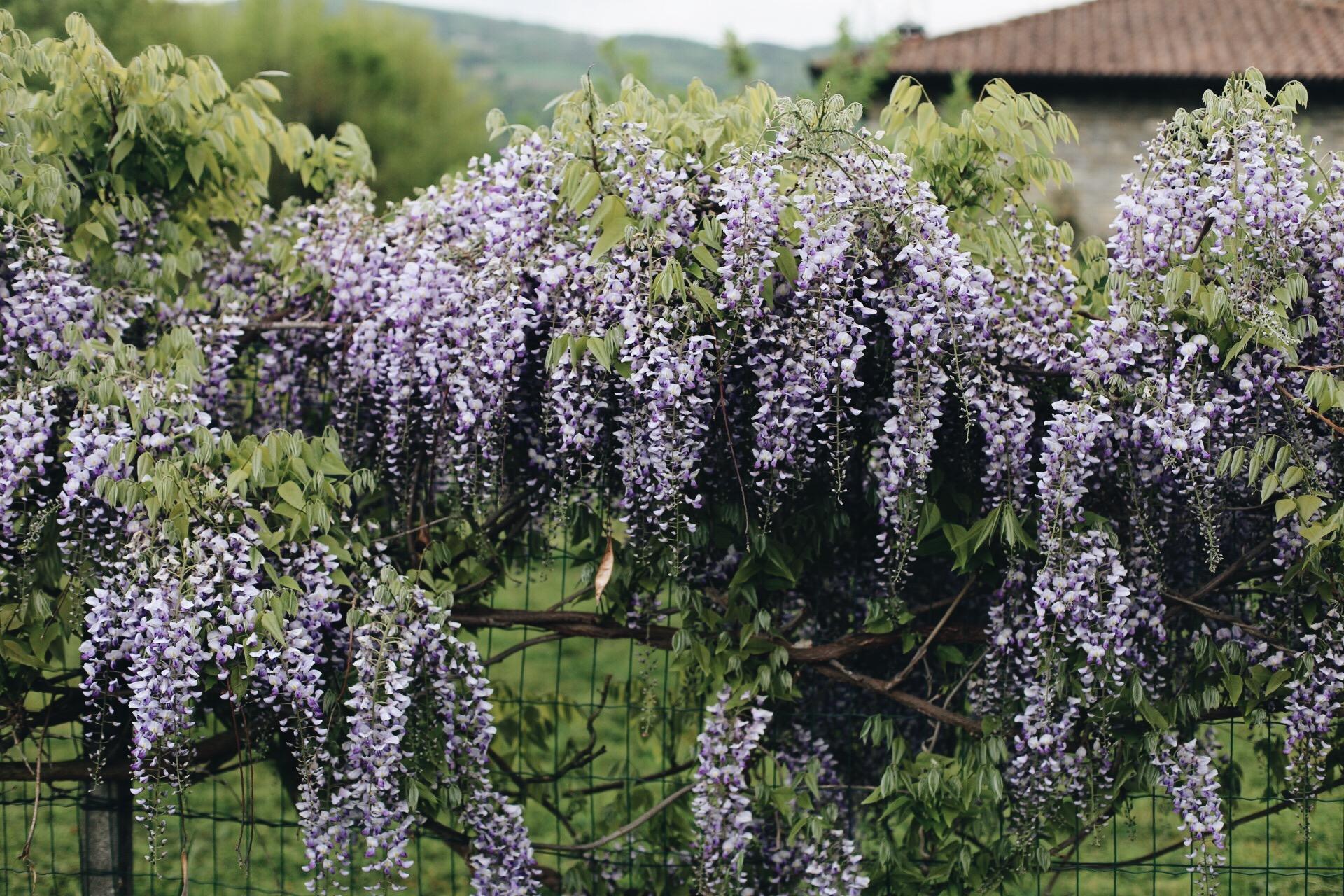 Tidigare har vi varit i Piemonte-regionen på hösten, när druvorna hängt tunga på vinfälten. Ljuvligt!  Nu har vi kunnat konstatera att våren här att minst lika underbar! Med blommande Blåregn och krispig grönska i det böljande landskapet.