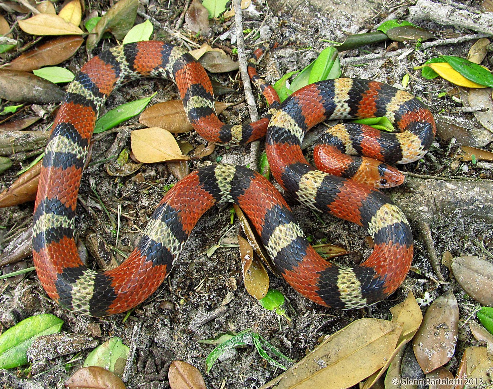 The Scarlet Snake by By Glenn Bartolotti