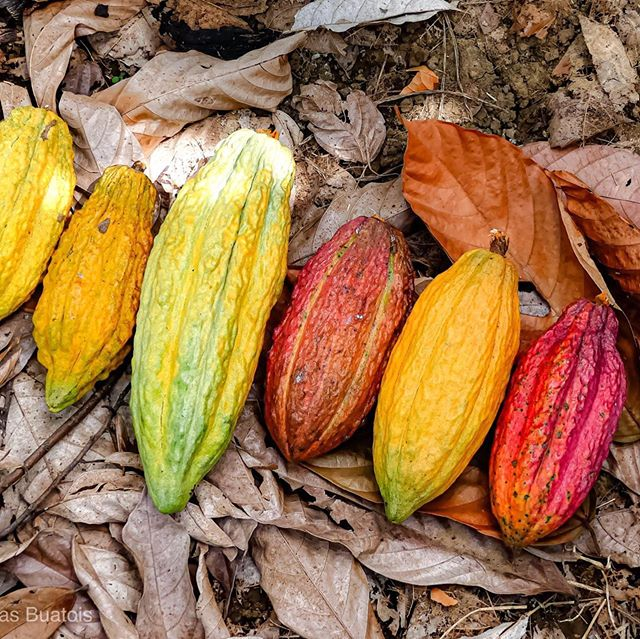 Hacienda Victoria is not just any cacao farm. It's 750 hectares of fine flavour cacao in Ecuador. It's the fullest attention on the people ánd on the environment. It stands for Ecuadorian pride. Growth. Innovation. Quality. Proud that myself and @maridelarosa02 are working together with Victoria. Excited to let you know that these beans are now available in Amsterdam.  Photo: @buatois_photographie  #cacao #ecuador #chocolate #cocoa #arribacacao #finodearoma #amsterdam #puravida #womeninchocolate #guayas #cacaobeans #arribanacional