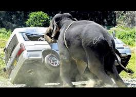 Here's a random picture of an elephant getting some exercise while a vehicle does yoga.