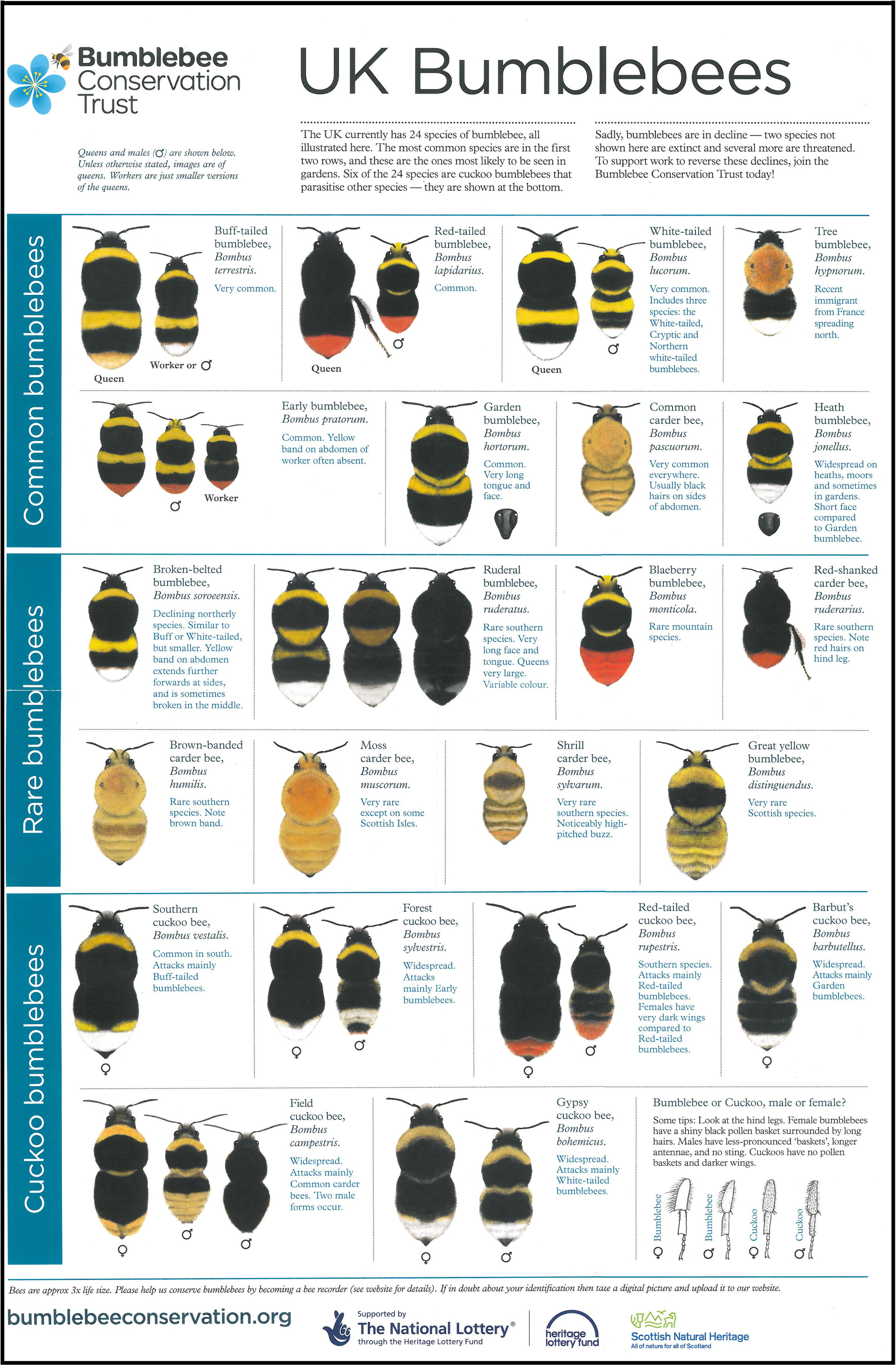 Poster by Bumblebee Conservation Trust