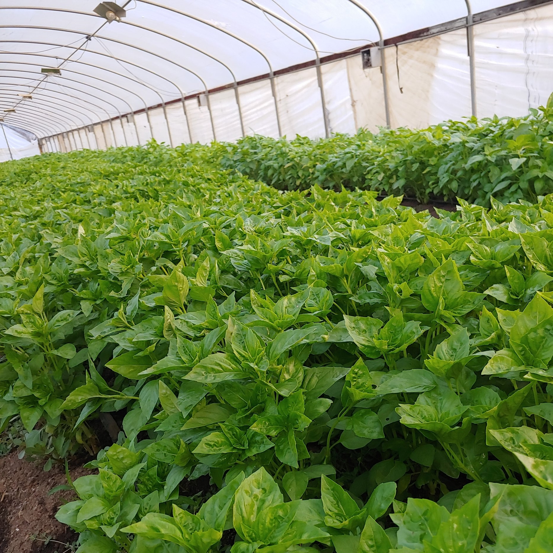 "tamura nursery  - (California, USA)  "" we had previously struggled downy mildew and fusarium on our raised beds. [rutgers obsession dmr] - very strong plants."""