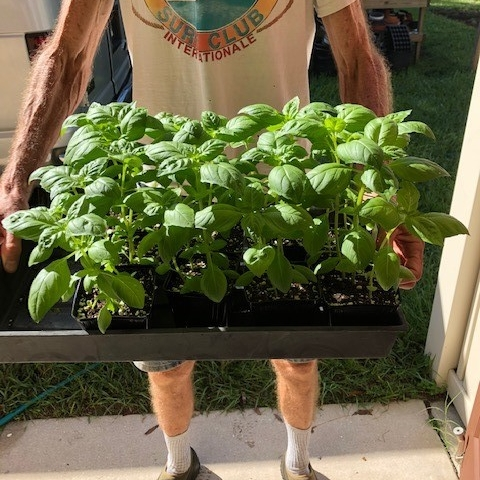 "nature's partner -  (florida, usa)   "" I've been selling at a farmers' market for nearly 40 years and sweet basil had been my best selling potted herb prior to the onset of Downy Mildew disease. I had to stop selling it for years but have been rescued by Van Drunen Farms' mildew- resistant varieties. Even though they told me it did not have complete resistance, I have yet to see any sign at all of the dreaded mildew in my nursery, after multiple plantings and under very humid conditions."""