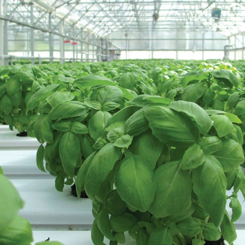 Basil-Planting-feature.jpg