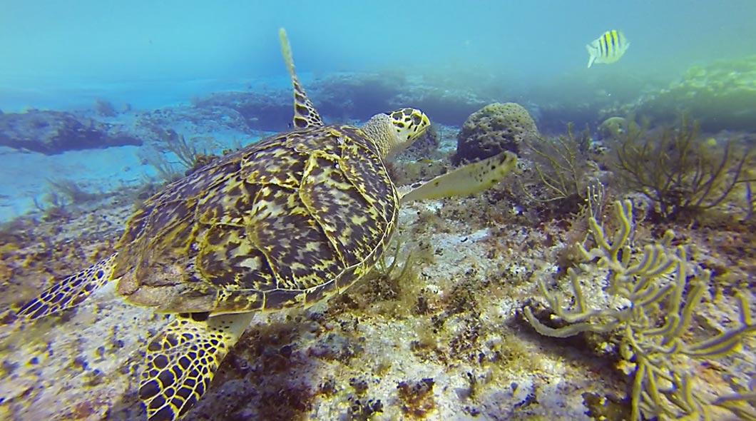 Turtle-swimming.jpg
