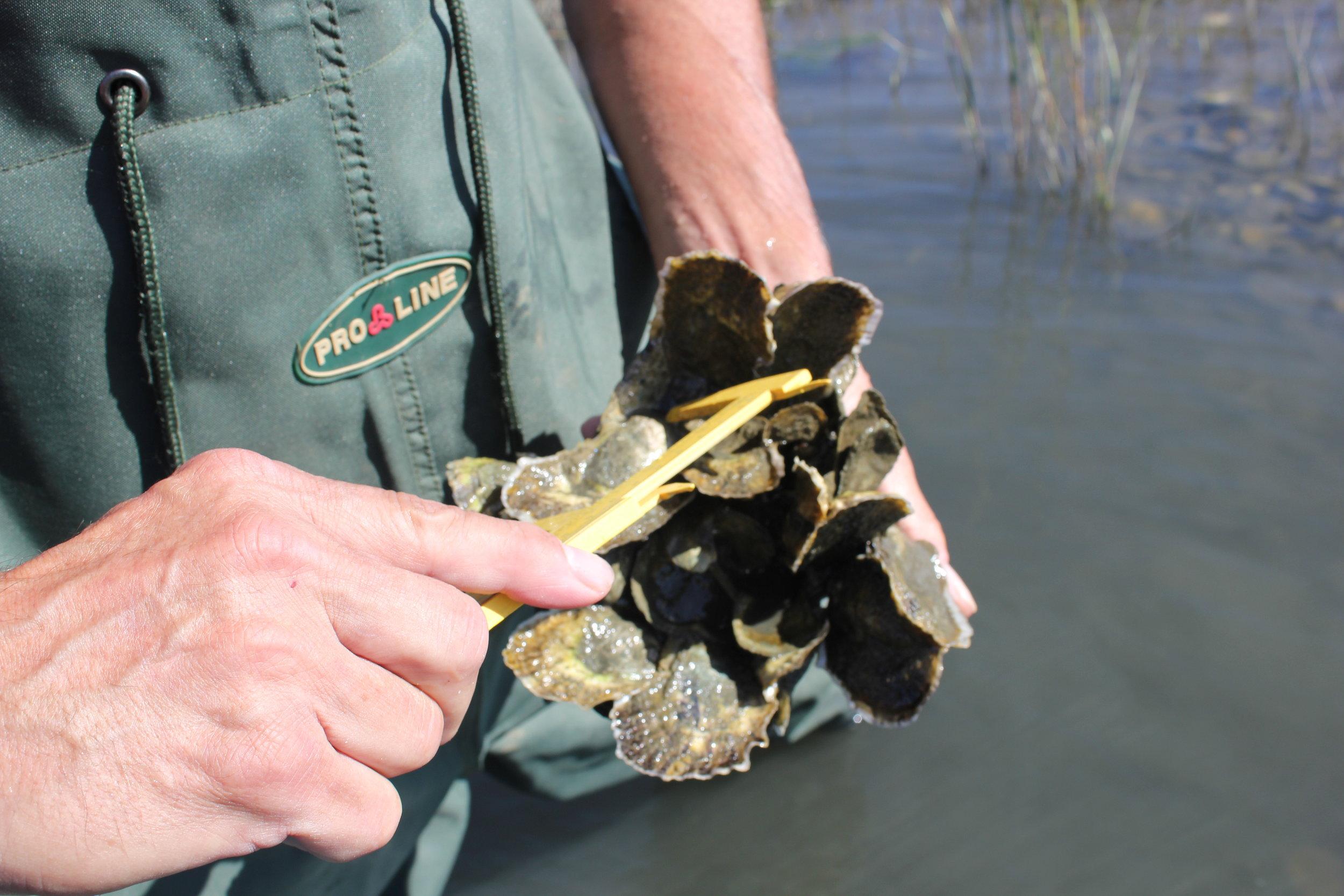 Record 10_16 Greg measuring oyster.JPG