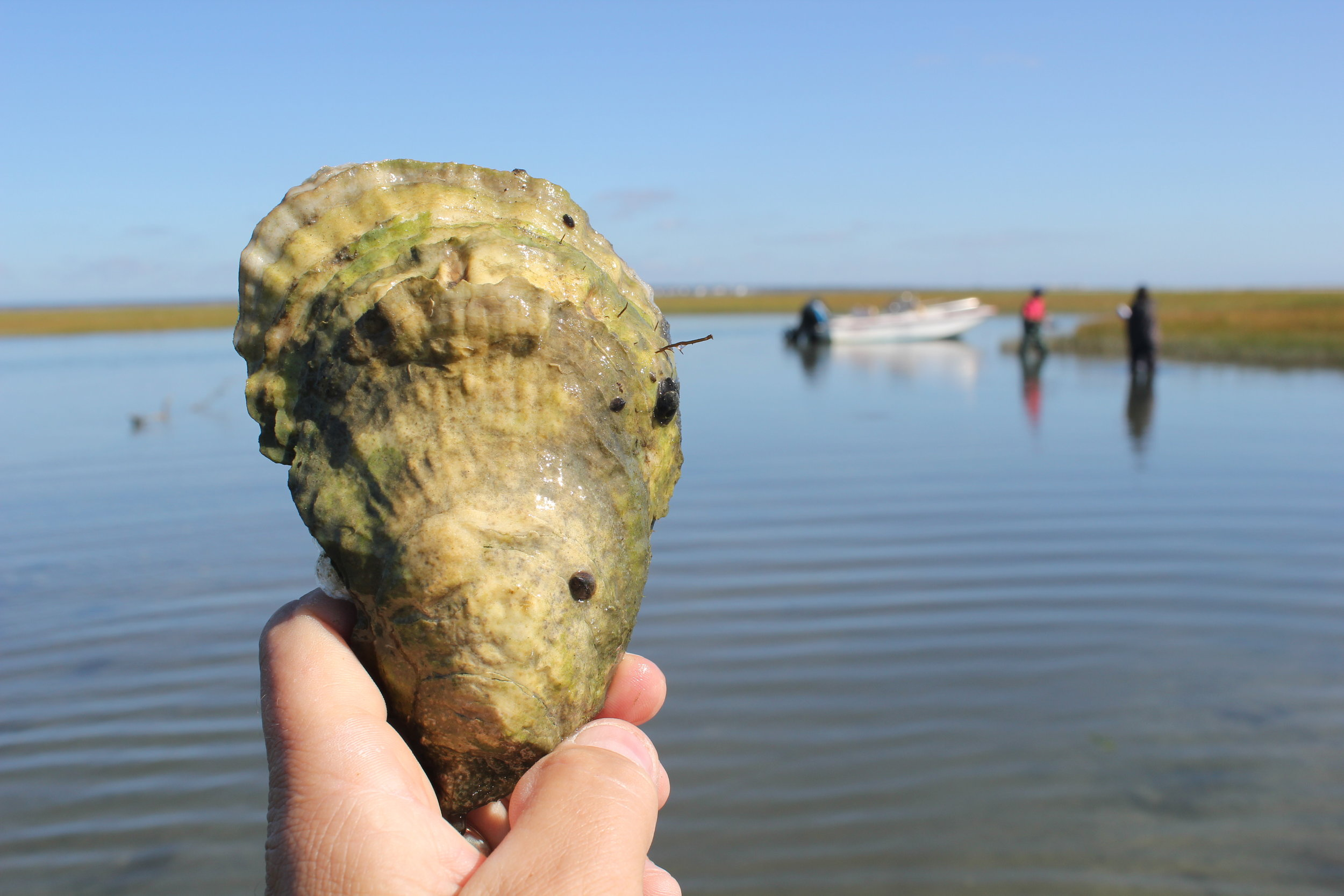 Record 10_16 Oyster being held.JPG