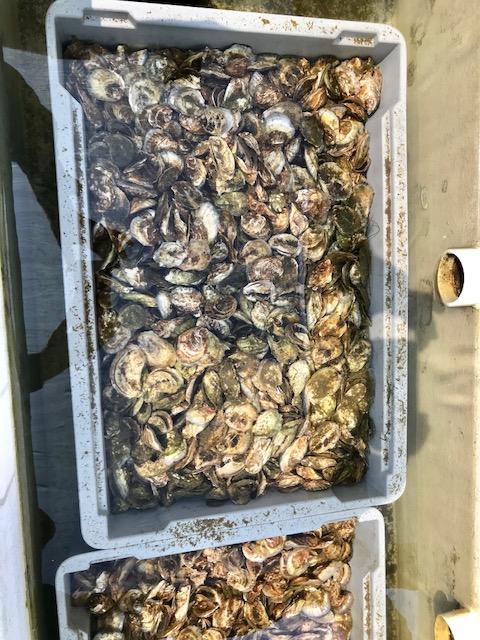Oysters in bin Mount Sinai July 3.jpg