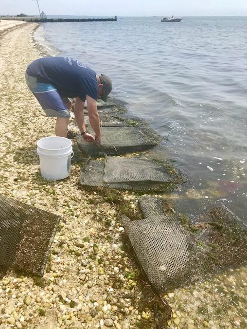 Oysters in envelope Academy Garden July 3.jpg