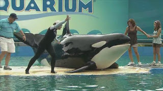 Lolita, 45 years in captivity at the Miami Seaquarium