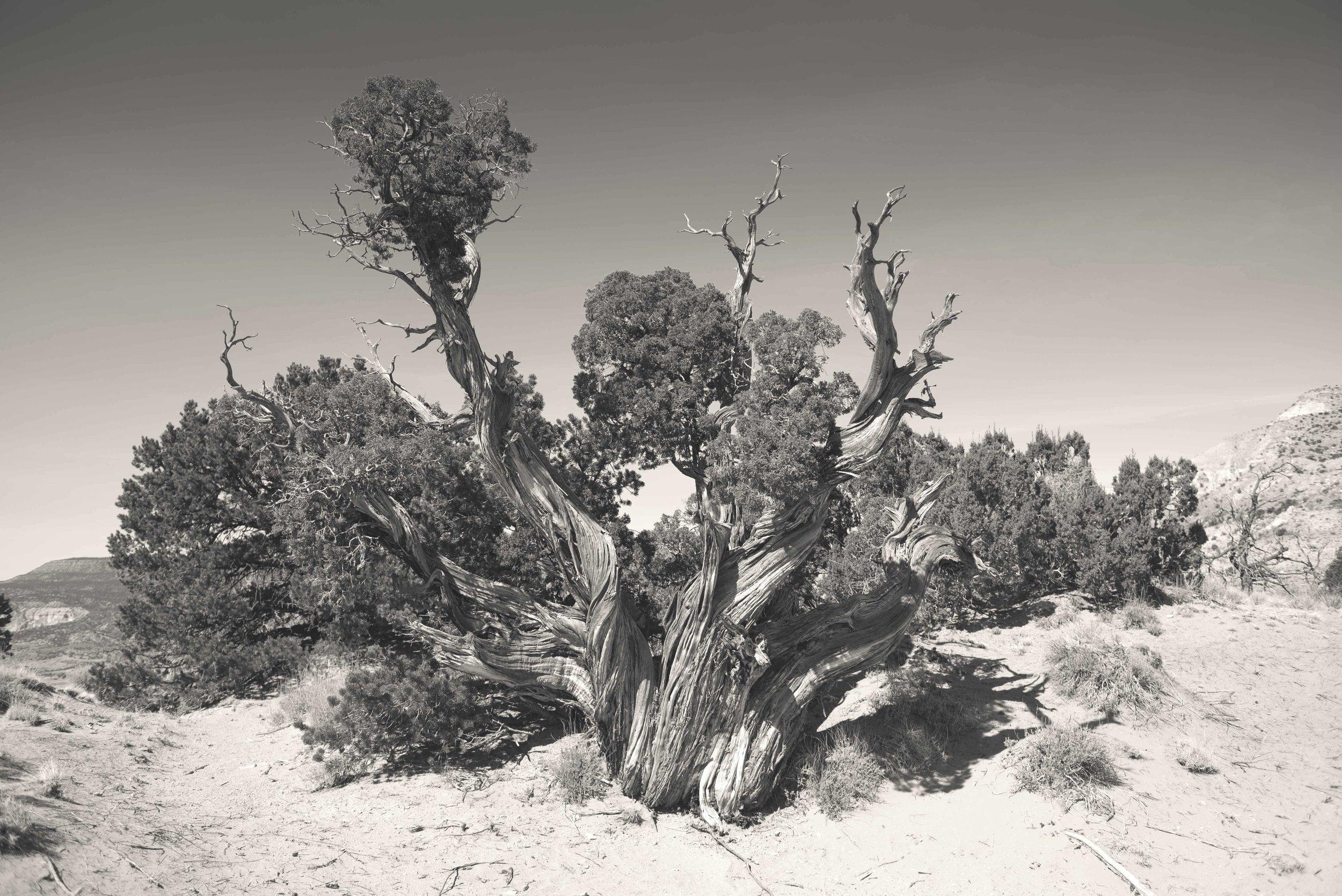 Cypress, Abiquiu, NM
