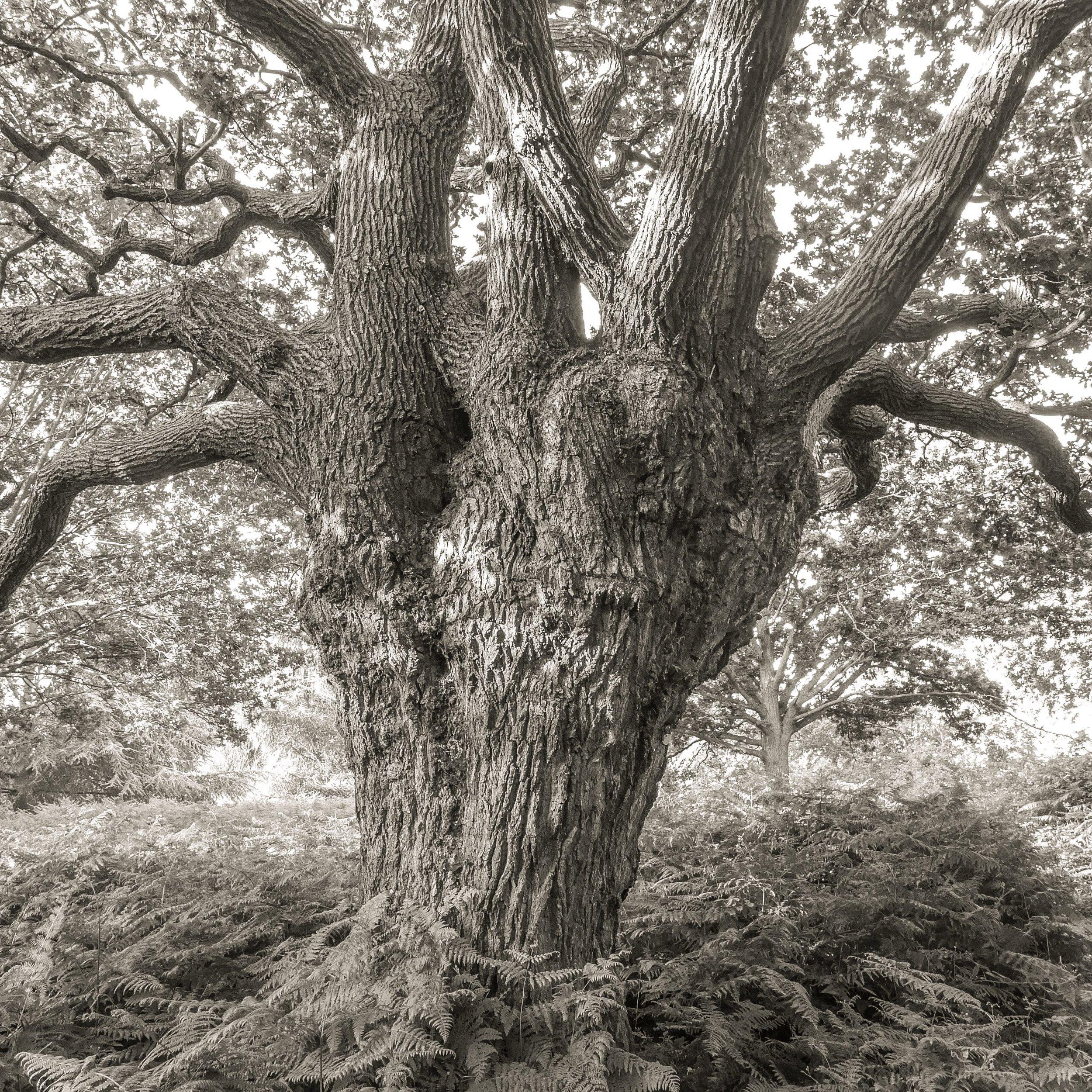 Oak, Richmond, UK