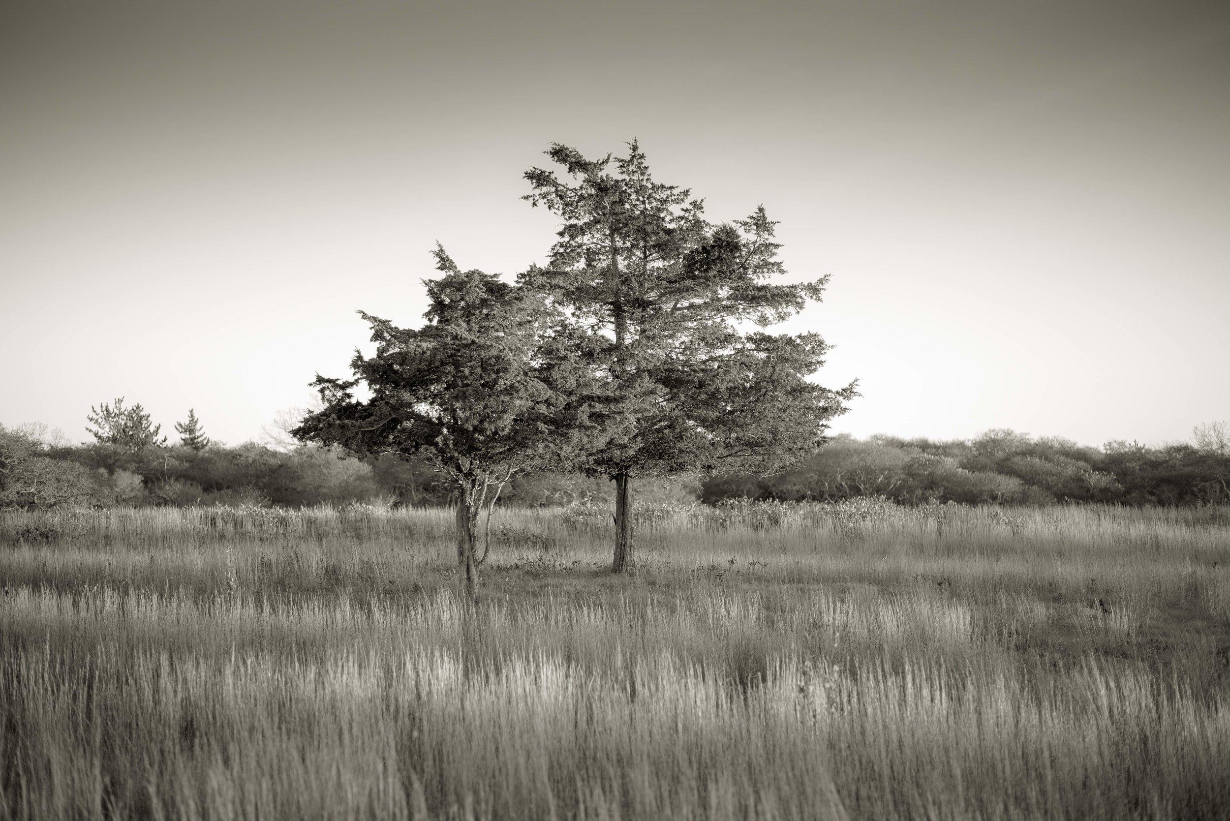 Cypress, Nantucket, MA