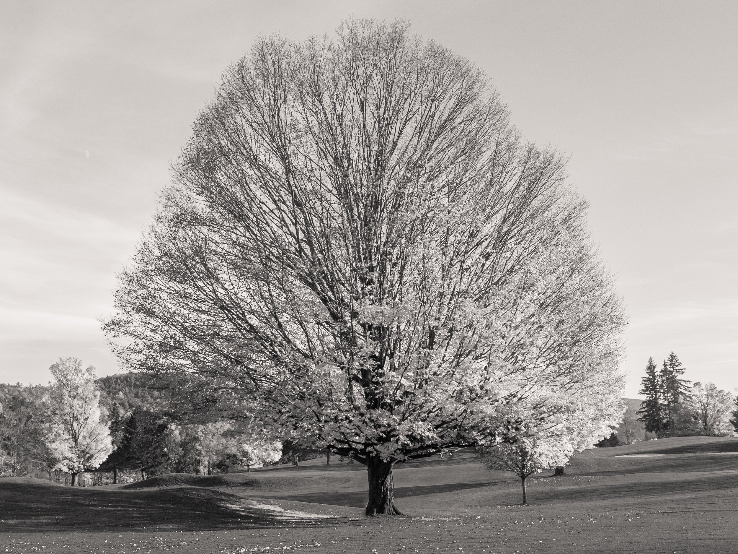 Sugar Maple, Cooperstown, NY