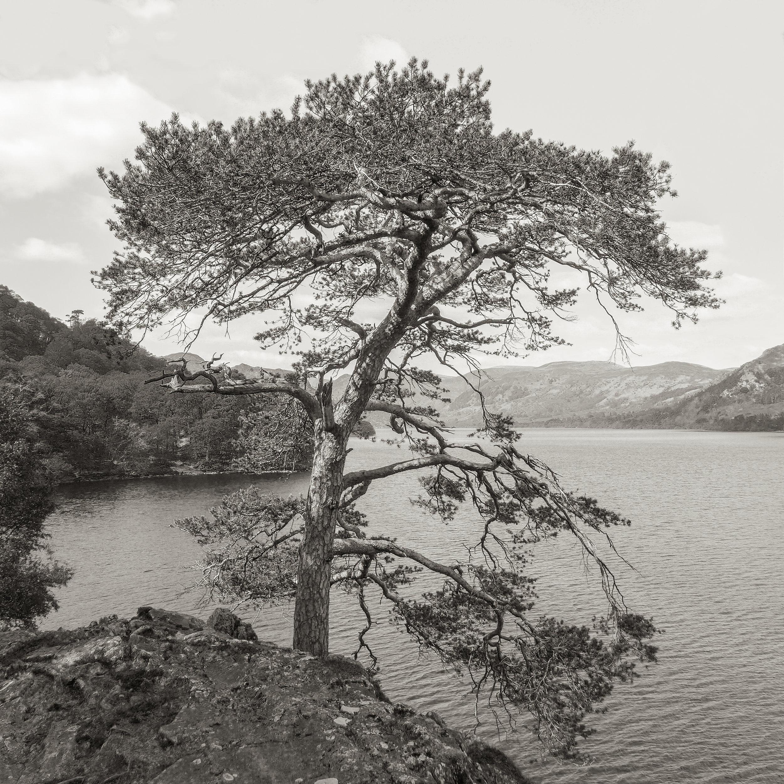 Cypress, Lake District, UK