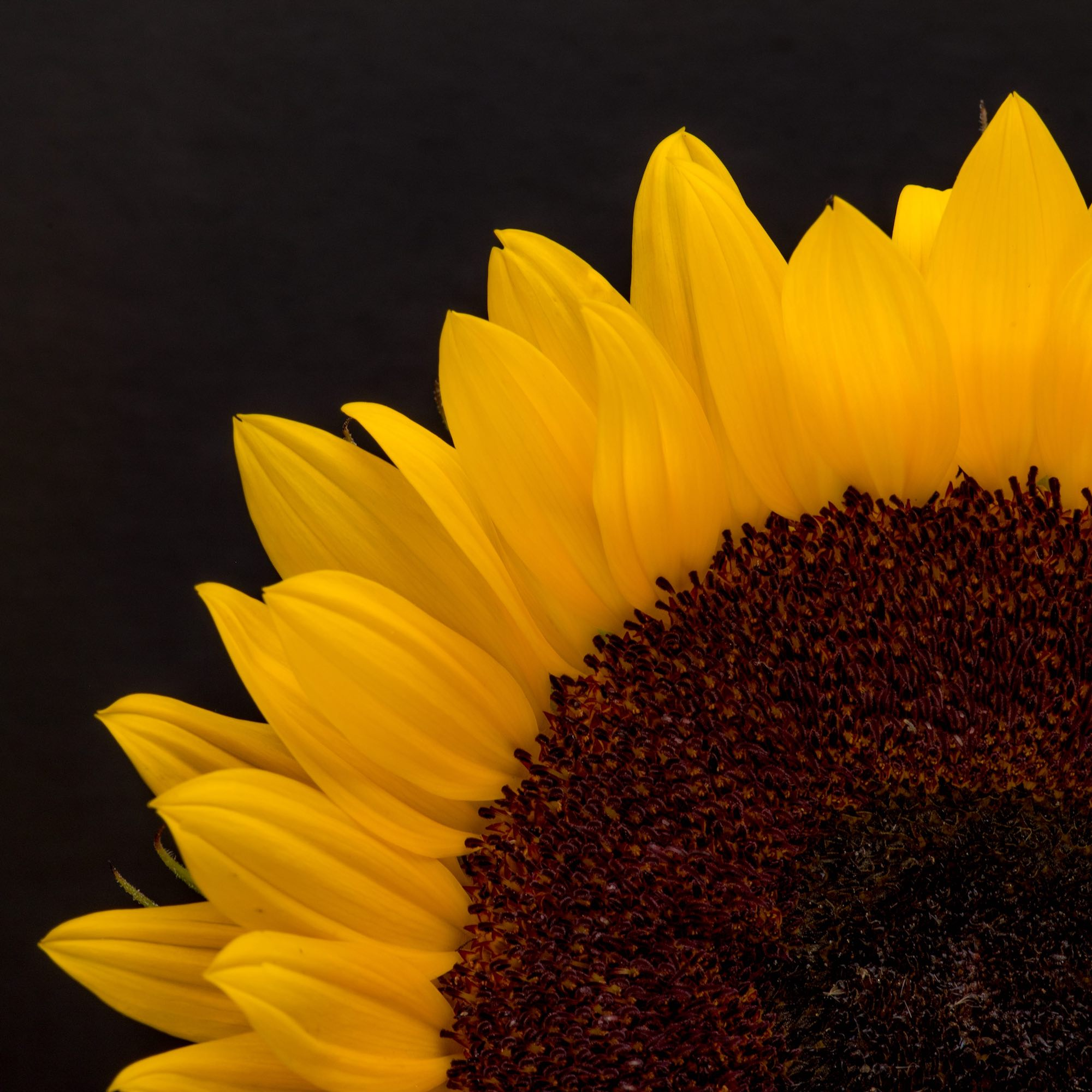 Sunflower II
