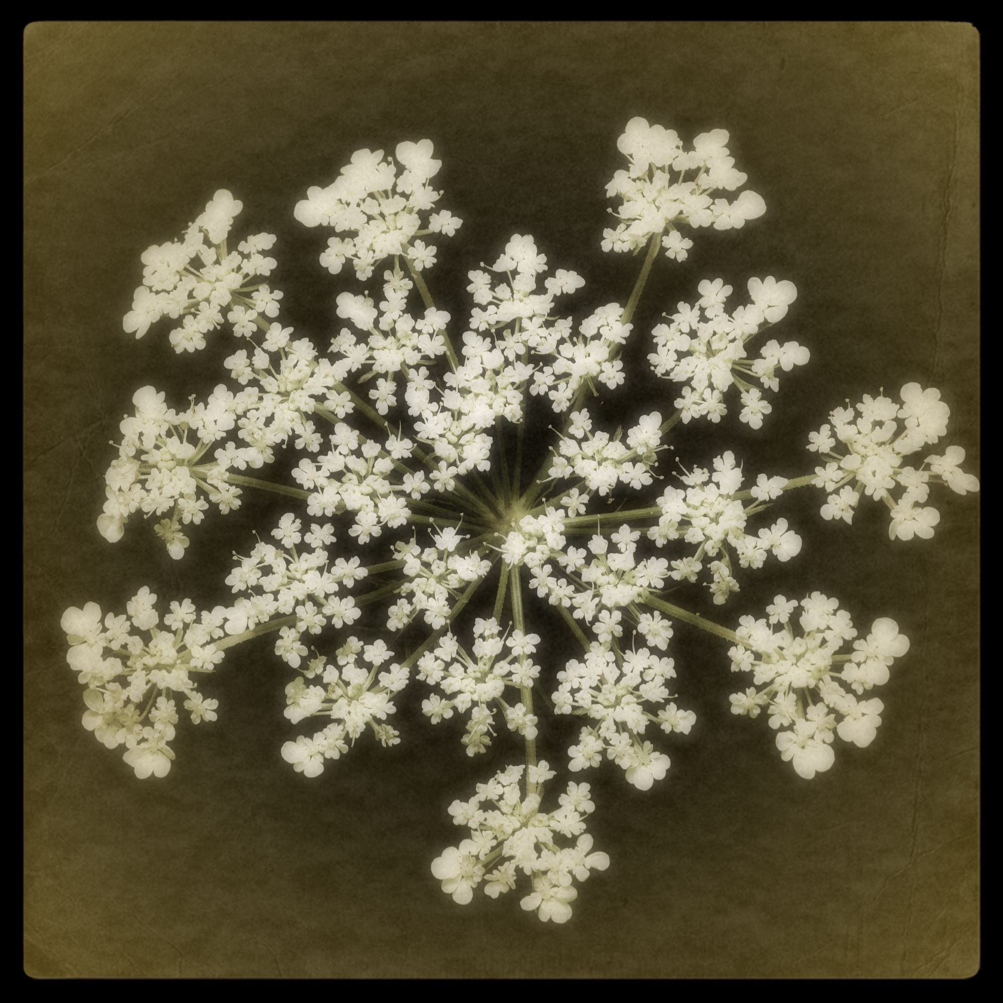Queen Anne's Lace III