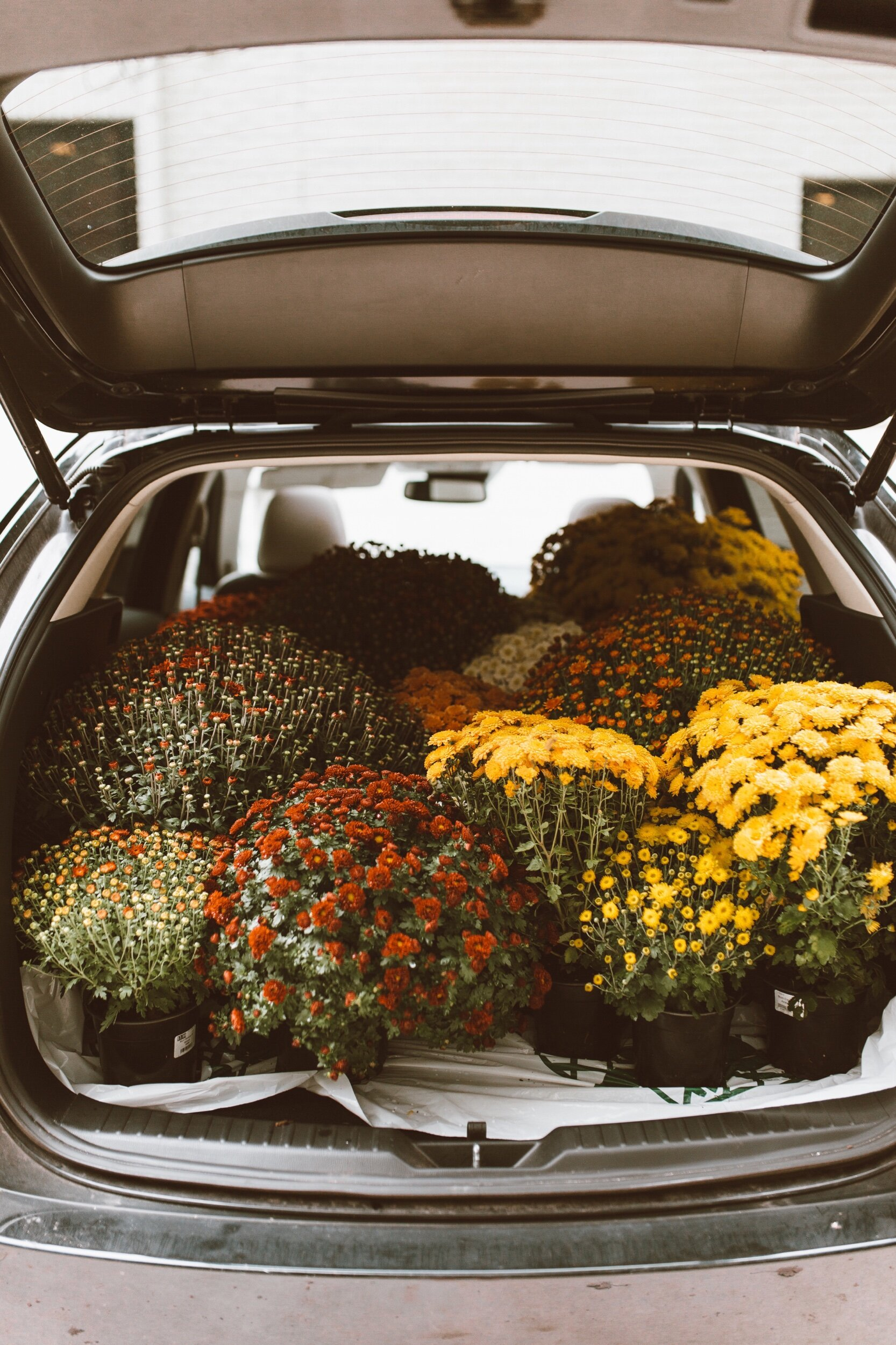 forthehome-how-to-care-for-fall-mums-01.jpeg