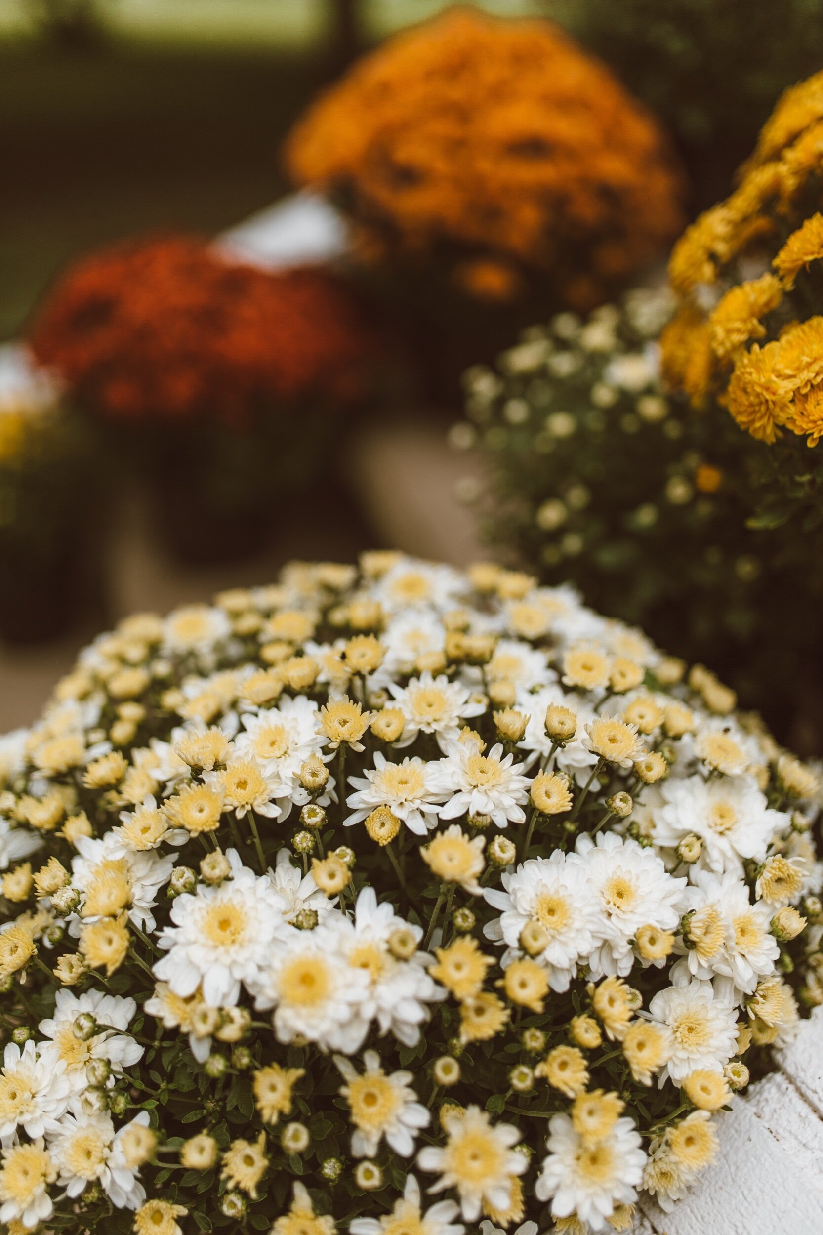 forthehome-how-to-care-for-fall-mums-03.jpeg
