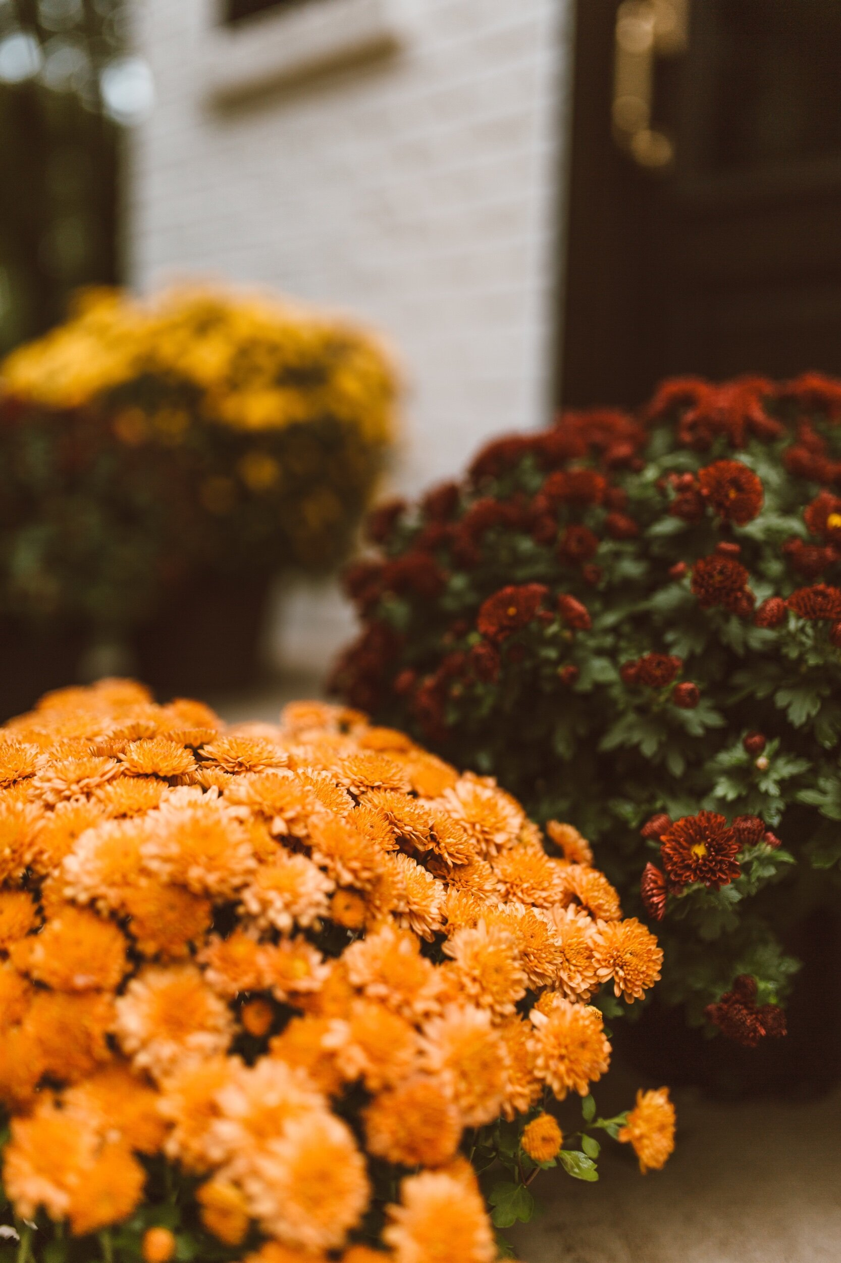 forthehome-how-to-care-for-fall-mums-05.jpeg