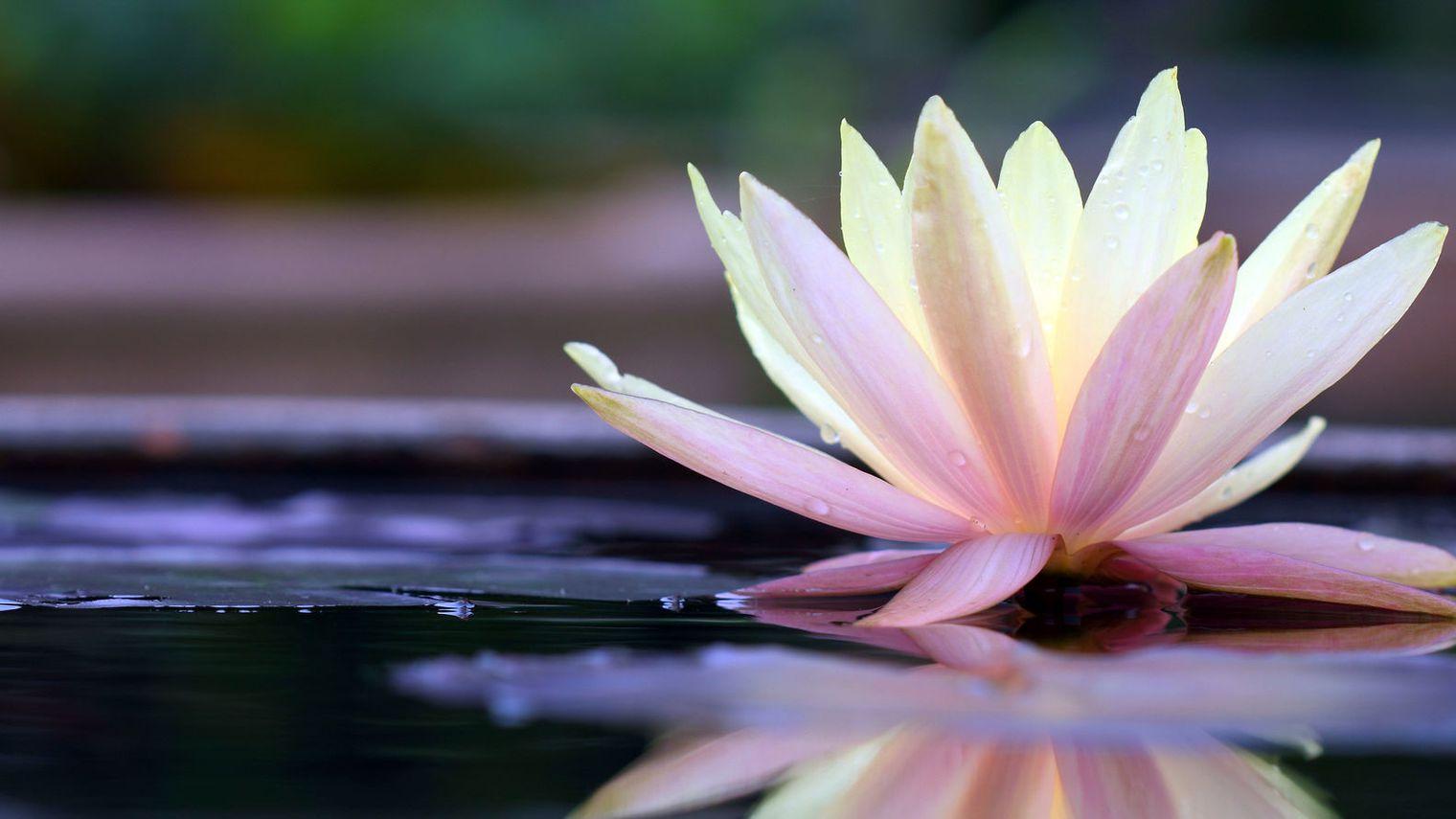 fleur-de-lotus_4814300.jpg