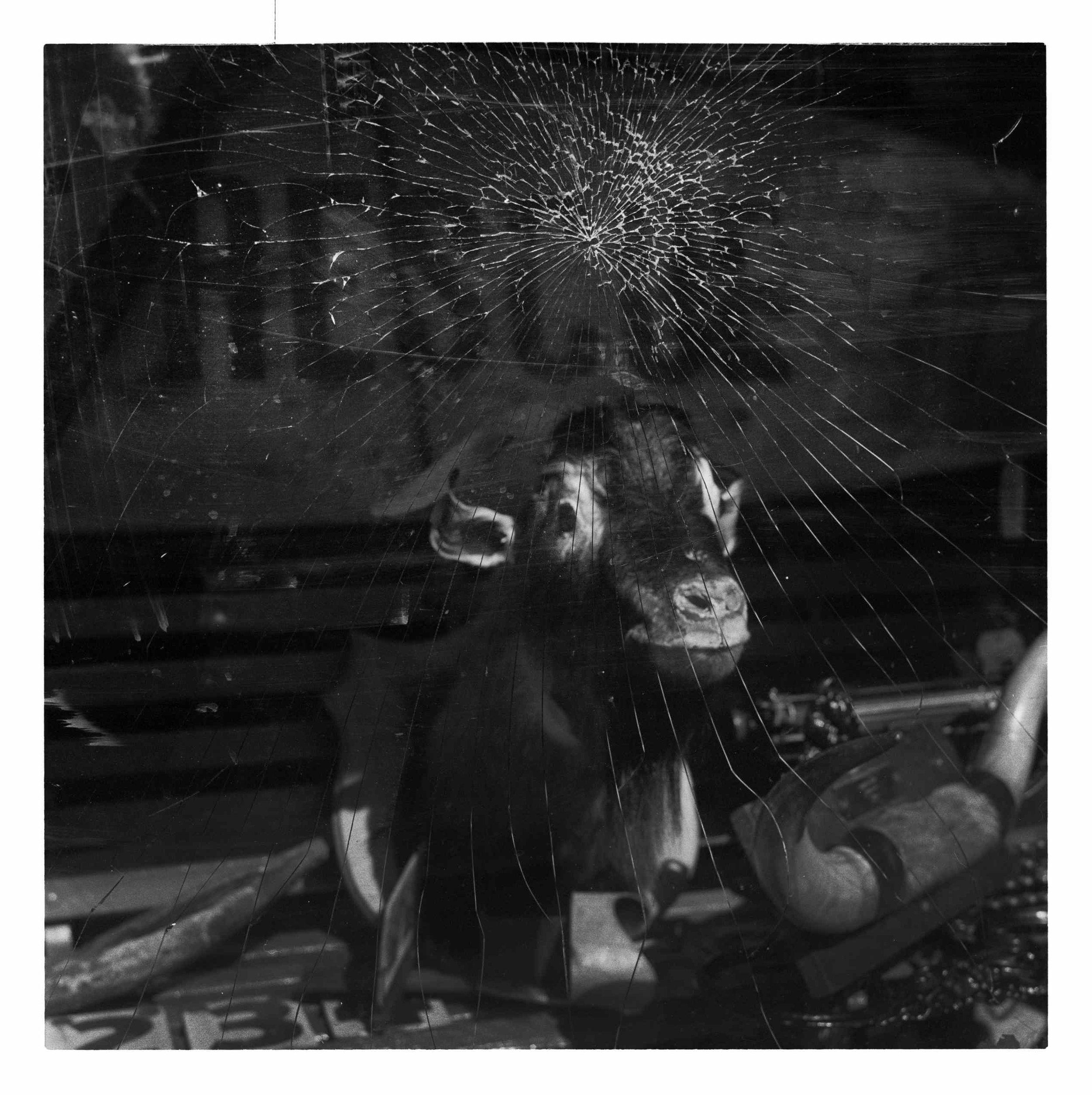 """Cow In The Window"" King Street, Newtown. Sydney, Australia. 2013"