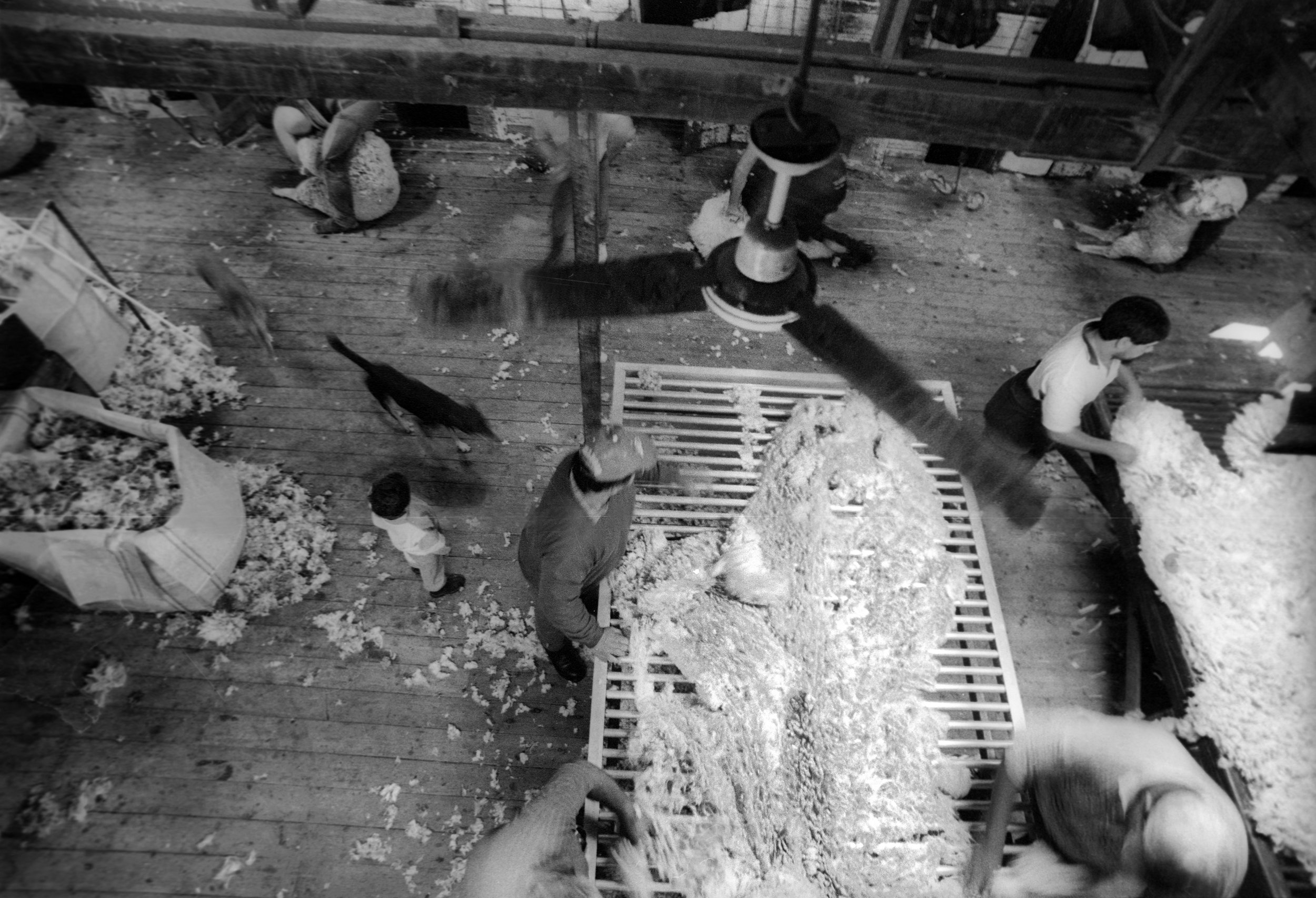 Sorting the fleece on a busy shearing shed 'floor'. Outback, NSW, Australia. 1997