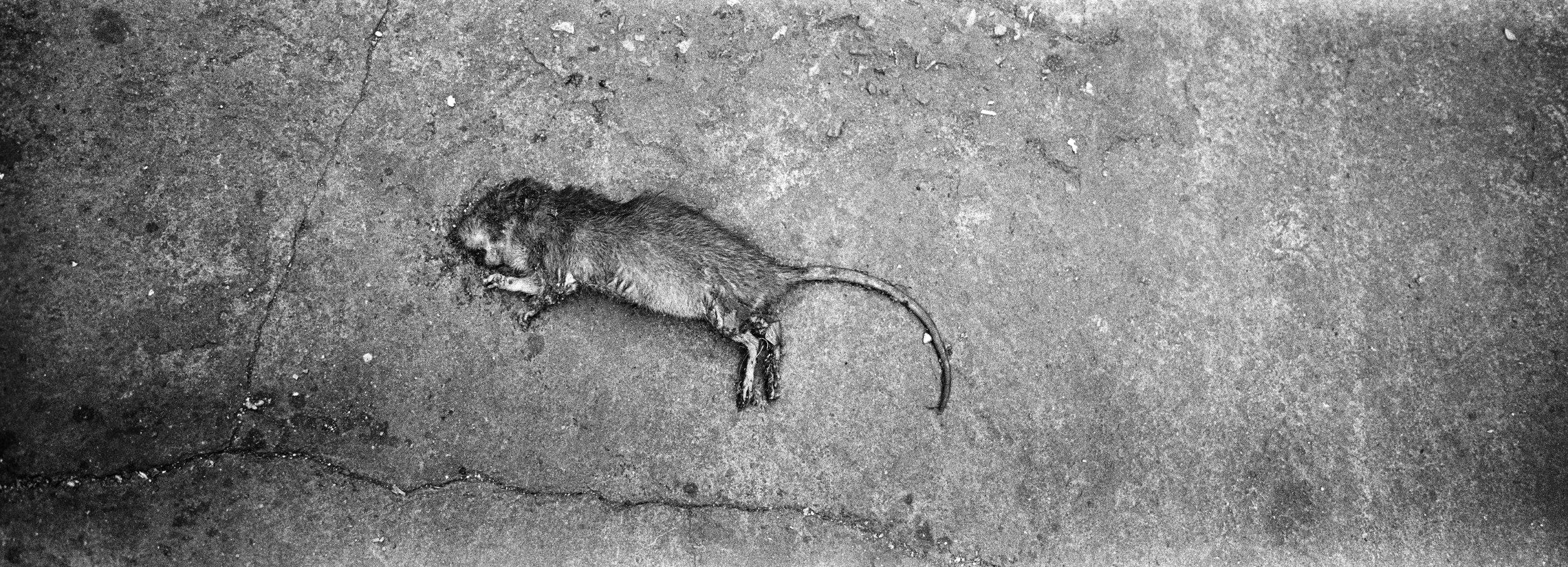 Rigor Mortis Rat #2 Bangkok, Thailand. 2014