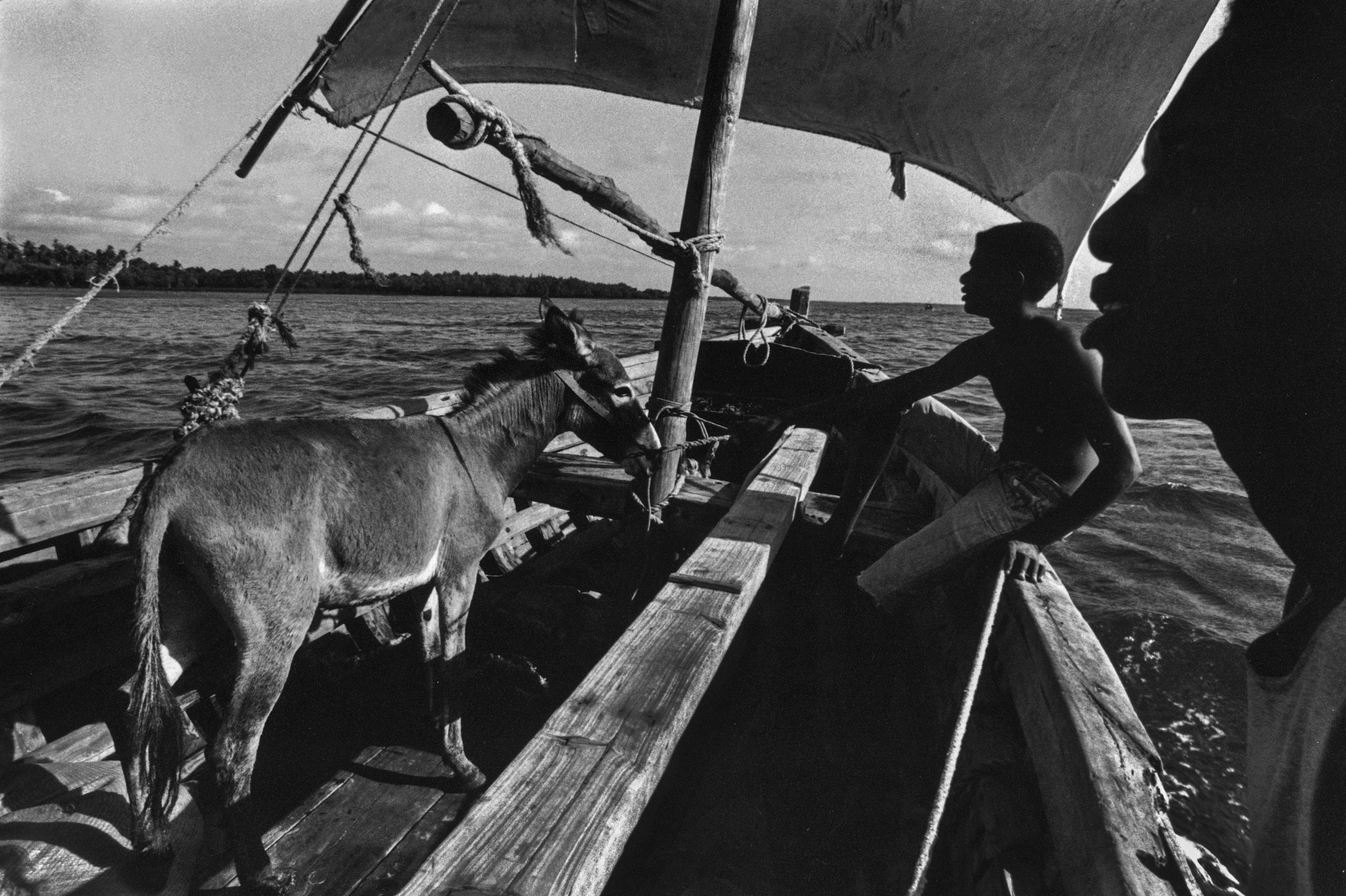 Donkey transported to outer Island. Off the coast of Mombasa, Kenya. 1999