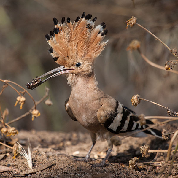 600px-Hoopoe_with_insect.jpg