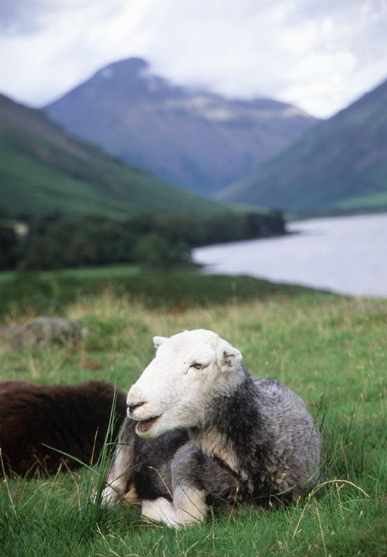 Sheepbyl.JPG