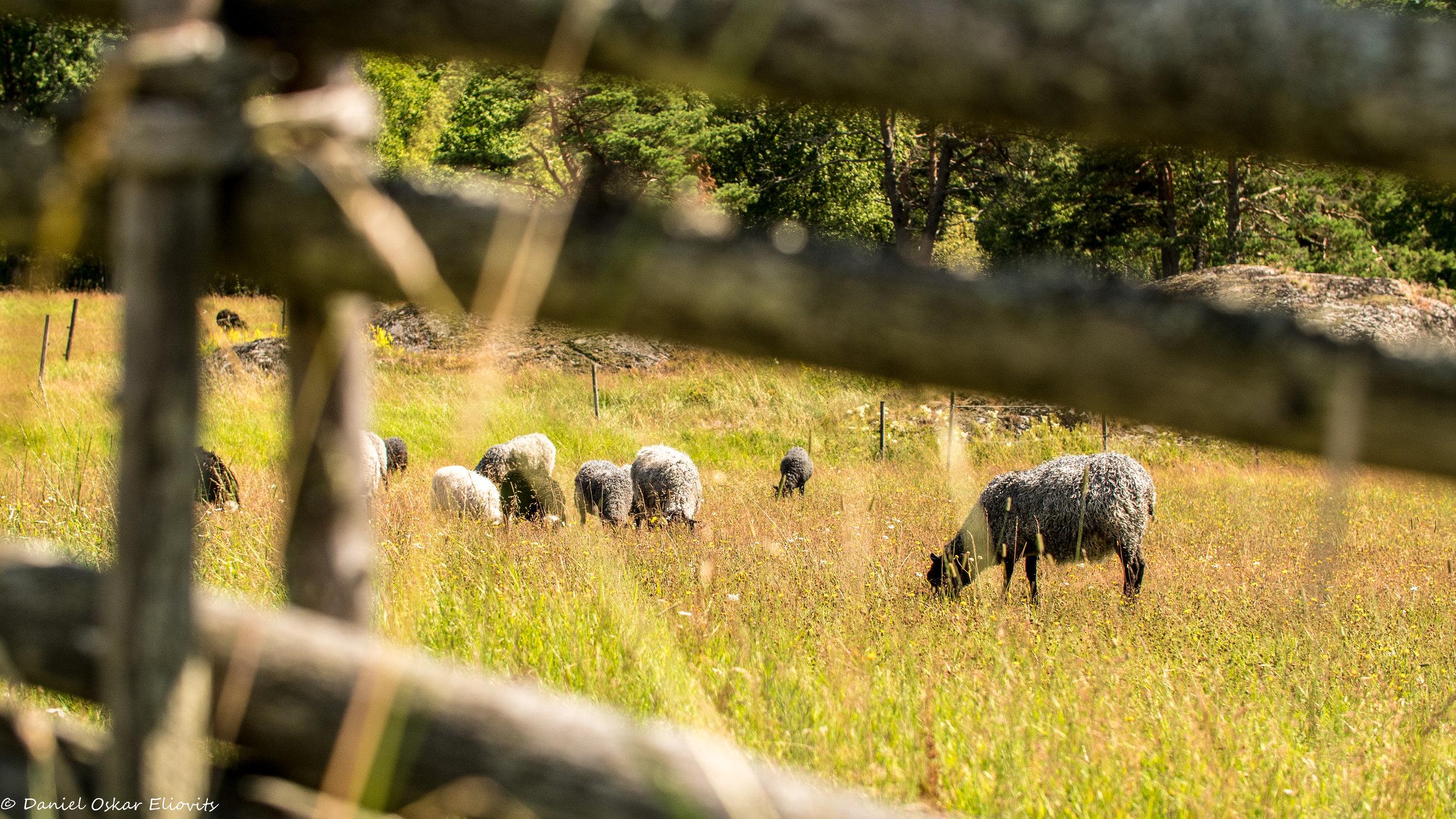 Sheep in Tyresta national park, Sweden